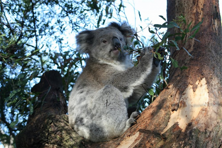koala bears population australia extinction threat future