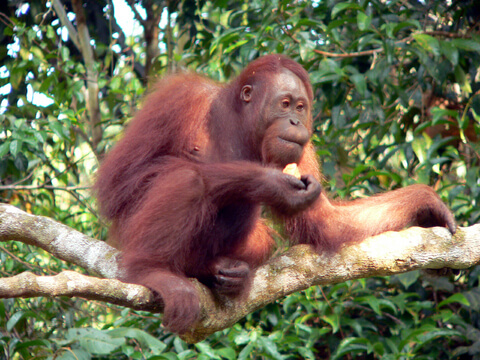 orangutan borneo 2023 future deforestation extinct